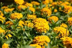 Tierra amarilla 30 de la flor Imagen de archivo libre de regalías