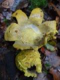 Tierra-bola amarilla de los hongos Fotos de archivo