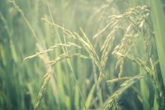 Tierra campo-verde de la agricultura del arroz fotos de archivo libres de regalías