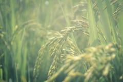Tierra campo-verde de la agricultura del arroz fotografía de archivo libre de regalías