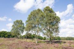 Tierra con los árboles de abedul en los Países Bajos Imagen de archivo