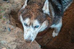 Tierra de excavación fornida Perro fornido del bozal sucio que revuelve en la arena Visión desde arriba El husky siberiano cava u Fotos de archivo