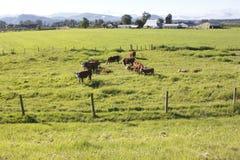 Tierra de pasto de la lechería Imagen de archivo libre de regalías