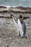King Penguins inside Tierra del Fuego Land, Chile. Tierra del Fuego Land, in the far south of America continent we can find one of the more remote areas in the royalty free stock image