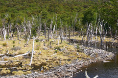 Tierra del Fuego National Park Death Forest. Beaver dam in Tierra del Fuego National Park Royalty Free Stock Photos
