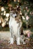 tierra japonesa feliz hermosa del siton del perro de Akita del retrato Bosque verde en fondo fotografía de archivo
