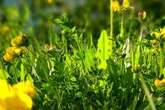 tierra verde, hierba verde y hojas del diente de león y flores amarillos del trébol del cuerno en los grassflowers iluminados por imagen de archivo libre de regalías