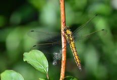 Tierras de la libélula en la cuchilla de la hierba imagen de archivo