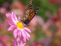 Tierras de la mariposa en la flor rosada del crisantemo Fotos de archivo