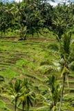 Tierras de labrantío colgantes verdes enormes en Bali Fotografía de archivo