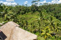 Tierras de labrantío colgantes verdes enormes en Bali Fotos de archivo