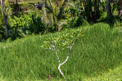 Tierras de labrantío colgantes verdes enormes en Bali Fotografía de archivo libre de regalías