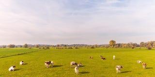 Tierras de labrantío con las vacas en la provincia de Güeldres Fotografía de archivo