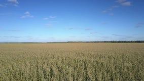 Tierras de labrantío cubiertas con los troncos del maíz debajo del cielo fabuloso almacen de metraje de vídeo