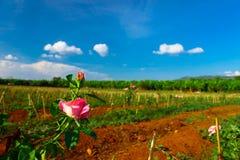 Tierras de labrantío de Rose Foto de archivo
