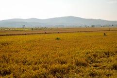 Tierras de labrantío de oro del arroz por la mañana Foto de archivo