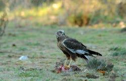 tierras masculinas del águila de corredor de cross en la tierra Fotografía de archivo libre de regalías