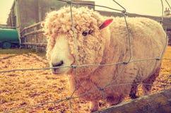 Tierrechte - einsame Schafe hinter Zaun stockbilder