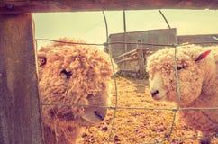 Tierrechte - zwei Schafe hinter Zaun lizenzfreie stockbilder