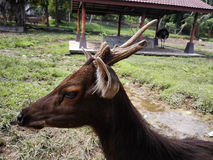 Tierrotwild der wild lebenden Tiere Stockfotografie