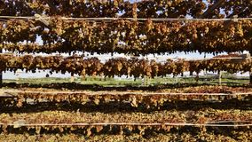 Tiers Of Drying Grapes. Drying sultana grapes hang on the mesh wire tiers of a rack as they dry in the midday sun Stock Image