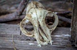 Tierschädel und Scheune Stockbild
