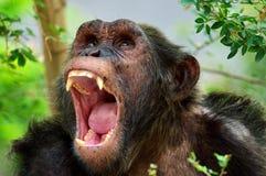 Tierschimpanse Stockfotografie