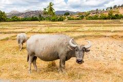Tiervorrat in Südostasien Zwei Zebu, Büffel oder Kühe, Vieh auf einem Feld Dorf in ländlichem Osttimor - Timor-Leste stockfotografie