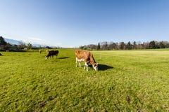 Tierzucht in der Schweiz Stockfotos
