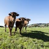 Tierzucht in der Schweiz Stockbild