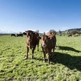 Tierzucht in der Schweiz Lizenzfreies Stockbild