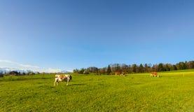 Tierzucht in der Schweiz Stockfoto