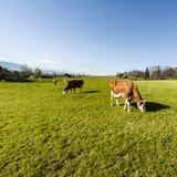 Tierzucht in der Schweiz Lizenzfreie Stockbilder