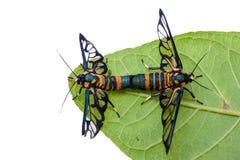 Tierzucht des Schmetterlingsinsekts auf grünem Blatt und weißem BAC Stockfoto