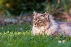 Tiffany cat on the lawn in the garden. Tiffany cat on the lawn looking away from camera in beautiful late afternoon light stock photo