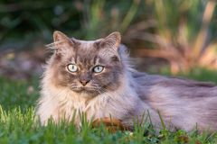 Tiffany cat on the lawn in the garden. Tiffany cat on the lawn looking at camera blurred background late afternoon soft light royalty free stock image