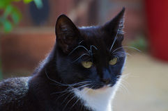 Tiffany - Pensive. Close up of black and white Cat in pensive mood Royalty Free Stock Images