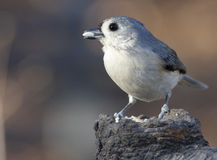 tifted titmouse Obrazy Royalty Free