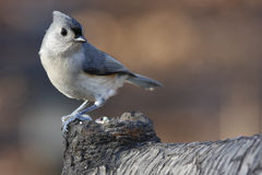 Tifted Titmouse Lizenzfreie Stockfotos