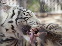 Tigar in  cage Stock Photo