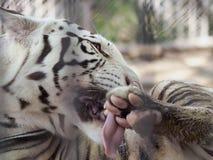 Tigar na gaiola Foto de Stock