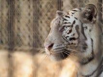 Tigar w klatce Zdjęcia Royalty Free