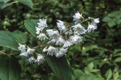 Tige avec des feuilles et des fleurs blanches image libre de droits