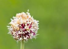Tige d'ail avec les graines de fleurs roses sur un fond vert naturel Photos libres de droits