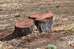 Tige d'arbre de gomme arabique Image libre de droits