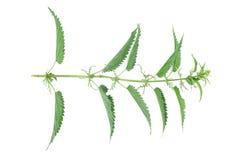 Tige d'ortie avec des feuilles d'isolement Photographie stock libre de droits