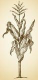 Tige d'usine de maïs Croquis de vecteur illustration stock