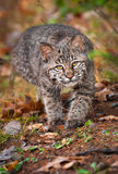 Tige de Bobcat Kitten (rufus de Lynx) Photographie stock libre de droits