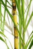 Tige de canne à sucre Images stock