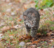 Tige de chat sauvage (rufus de Lynx) Photo stock